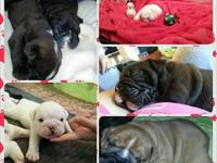 AKC English Bulldog puppies: Born 10/9, they will be