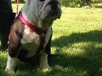 Sophie is AKC reg 5 months old utd on all shots and