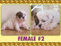 Female AKC English Bulldog available. 5 months old. Up