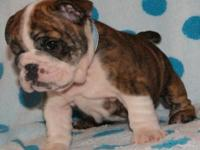 AKC English Bulldog female New puppy, we have 2 girls