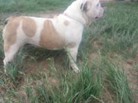 Akc English Bulldog Female. She is 2 years of ages. She