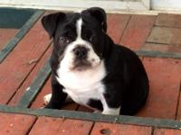 I have a 4 month old AKC registered English bulldog