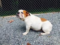 Dottie is an adult English bulldog. She is great with