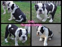AKC english bulldog female. Unusual/ alternative