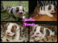 AKC registerable female bulldog, born 5-20, $500 Non