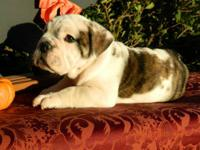 Female English Bulldog ready for her furever home, last