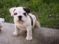I have an AKC female English Bulldog puppy all set for