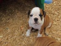 AKC English Bulldog Female Puppy. Her name is Fancy