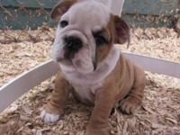 AKC English Bulldog Female Puppy. Her name is Reba