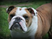 AKC 2 year old red brindle and white English Bulldog.