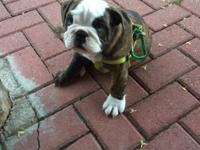 HOOT is a chocolate brindle FUN FUN puppy... He likes