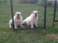 AKC English Bulldog juveniles, white( actually they are