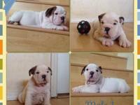 This handsome English Bulldog puppy is looking for a