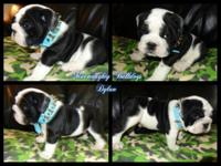 AKC white and black male. Option color in english