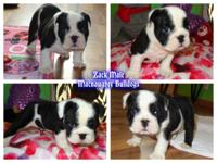 AKC English bulldog males. Dominant black and white.
