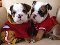 I have 2 AKC Registered Male English Bulldog Puppies