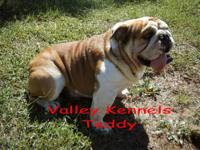 This is Max he is an awesome looking English Bulldog.