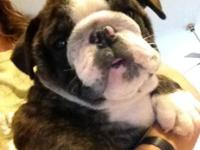 AKC English Bulldog Puppy - Champ Sired - 11 Weeks Old,