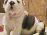 Only 1 gorgeous AKC Champion Bloodline bulldog pup