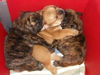 I have 1 fawn boy and 1 brindle girl english bulldog