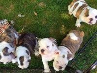 We have three gorgeous blue carrier puppies left one