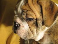 I have a litter of English Bulldog puppies ready for