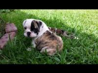 I have 2,english bulldog puppies for sale , both have