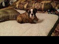 We have two AKC English bulldog puppies with champion