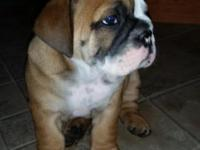 Gorgeous AKC English Bulldog Puppies! 2 males left rate