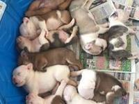 Akc English bulldogs for sale. Currently only accepting