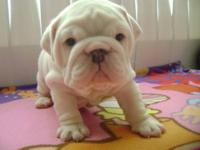 Akc reg English Bulldogs born may will be ready in