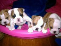 Our Maddie has 4 of the most adorable english bulldog