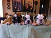 AKC English Bulldog puppies 1,500-1,800 Born may 15th