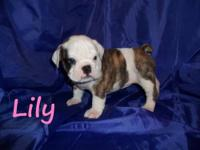 AKC registered English bulldog puppies ready for their