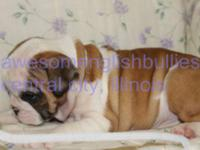 AKC registered english bulldog puppies, delivered
