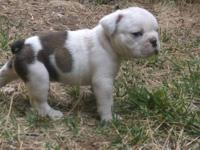 I have 8 AKC English Bulldog puppies. 4 males 4