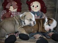 Two beautiful little bully girls, ready around October