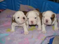 AKC English Bulldog Puppies born January 3, 2013. I am