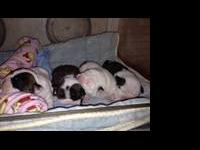 We have two litters of beautiful AKC English bulldog