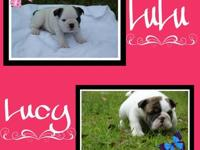 .AKC English Bulldog puppies born 04/01/13 are $2000.00