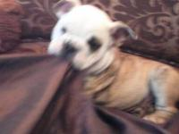 AKC English Bulldog 3 Puppies,2 girls and 1 boys