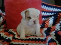 We have 2 male English bulldog puppies up for sale.