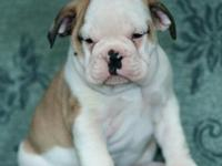 These wrinkly pups are full of fun and will make great