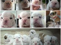 English Bulldog Puppies for sale. Puppies born