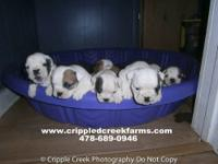 AKC Registered English Bulldog puppies that are ready