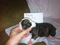 We have 4 males and 2 female AKC English bulldog