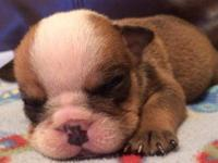 We have 4 male and 4 female English bulldog puppies