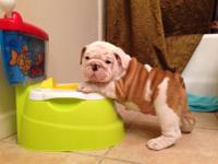 AKC Register English Bulldog Puppies only 2 males