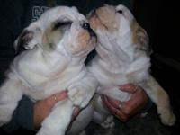 I have 2 male AKC English Bulldog puppies that are 11