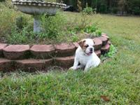 2 adorable female english bulldog puppies. They are up